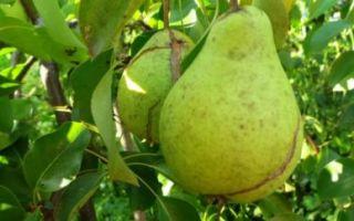 Почему гниют груши на дереве и что с этим делать?