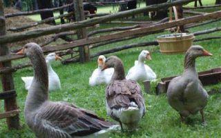 Разведение и содержание гусей в домашних условиях