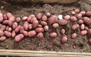Описание и характеристики картофеля сорта Рокко