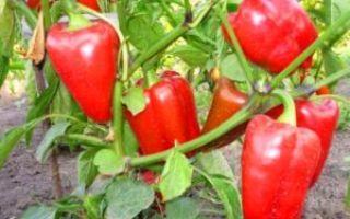После чего лучше сажать болгарский перец