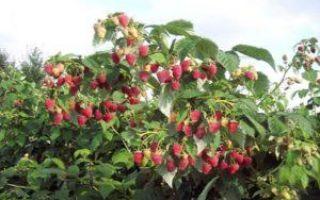 Описание сорта малины Полька