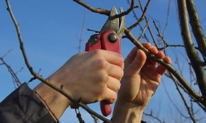Схема и особенности обрезки груши осенью, весной и летом