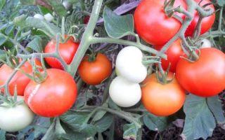 Характеристика и описание томата сорта Яблонька России