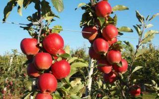 Полное описание сорта яблок Гала