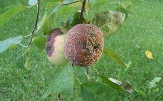 Почему гниют яблоки на дереве и что делать?