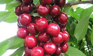 Подробное описание сорта вишни Любская