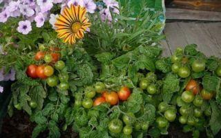 Можно ли сажать в одной теплице помидоры, перцы, баклажаны и другие овощи