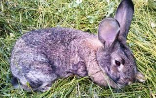 Симптомы, лечение и профилактика кокцидиоза у кроликов