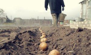 Правильная посадка картофеля по методу Митлайдера