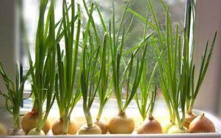 Как вырастить зеленый лук на подоконнике дома
