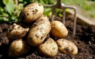 Самые опасные болезни картофеля и борьба с ними