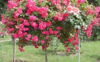Пошаговая инструкция как правильно привить розы к шиповнику