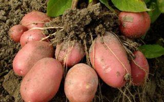 Описание и характеристика картофеля сорта розара