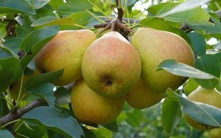 Подробное описание сорта груш Любимица Клаппа