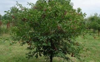 32 лучших сорта вишни