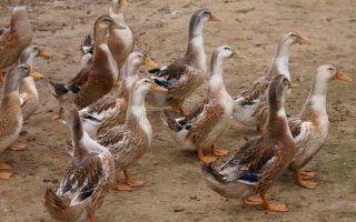 Описание породы башкирская утка