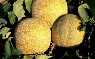Выращивание дыни колхозницы в открытом грунте и теплице