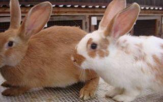 Особенности содержания и разведения кроликов в домашних условиях
