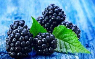 Правила выращивания, ухода, размножения и обрезки ежевики