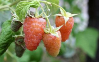 Описание сорта малины Оранжевое чудо