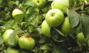 Когда собирать яблоки на хранение? И как правильно это делать