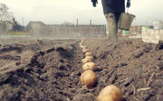 Правильная посадка картофеля в Ленинградской области