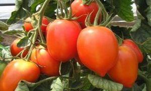 Полное описание и характеристики сорта томата Линда