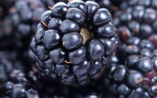 Полезные свойства и противопоказания ягод и листьев ежевики