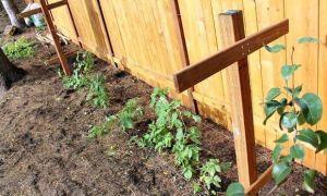 Правильное выращивание малины на шпалере