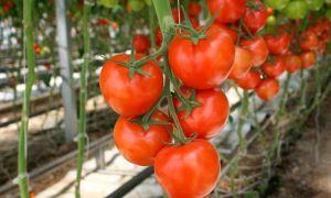 Как правильно и когда обрывать листья томатов в теплице