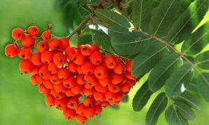 Полезные свойства и противопоказания рябины красной