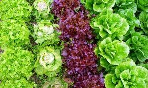 11 лучших сортов салата для открытого грунта и семена к ним