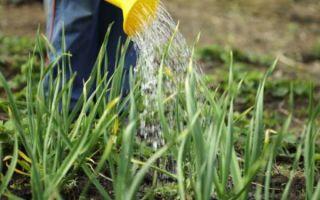 Правильная посадка и уход за луком севок в открытом грунте