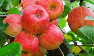 Какова польза яблок и есть ли вред для организма человека?