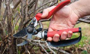 Правильная обрезка красной и чёрной смородины осенью для начинающих