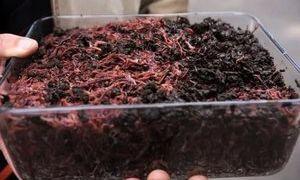 Правила разведение дождевых червей в домашних условиях