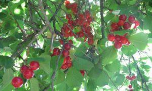 Описание сорта вишни Щедрая (Максимовская)