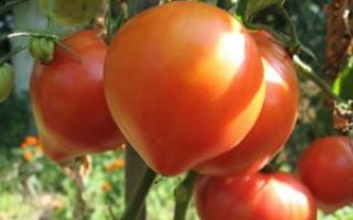 Характеристика и описание томата сорта Абаканский Розовый