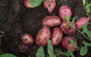 Характеристика и описание сорта картофеля любава