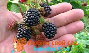 Посадка и уход за садовой ежевикой: 5 золотых правил
