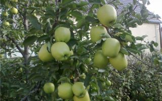 Подробное описание сорта яблок Голден