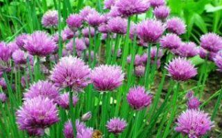 Что такое шнитт лук и как его вырастить из семян
