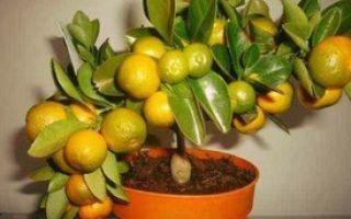 Как правильно вырастить мандарин из косточки в домашних условиях