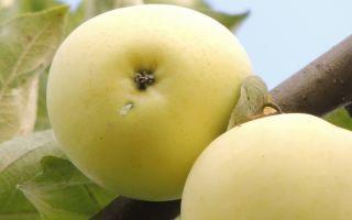 Описание подробное описание сорта яблок Белый налив