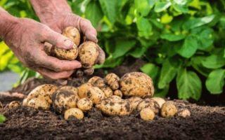 15 способов как увеличить урожай картофеля на домашнем огороде