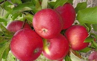 Подробная характеристика яблони Уэлси
