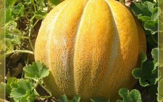 Описание сорта и особенности выращивания дыни Эфиопка