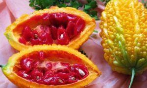 Свойства желтого индийского огурца момордики