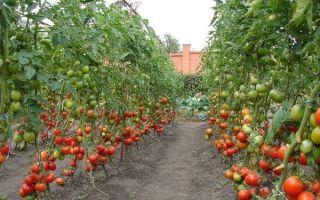 7 лучших сортов высокорослых помидор для открытого грунта