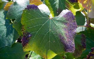 Чем подкормить вишню осенью чтобы был хороший урожай